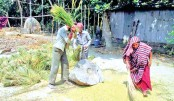 Farmers started harvesting paddy