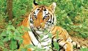 Saving Bengal Tigers