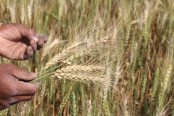 Asia's first-ever wheat blast spotted in Bangladesh