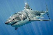 Human limbs may have evolved from shark gills