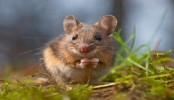 Researchers show 'dirty mice' could clean up immune system research