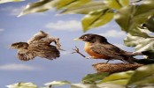 How baby birds learn to fly early