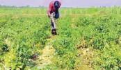 A farmer tends to his chilli field