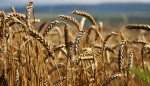 Russia becomes world's leading wheat exporter