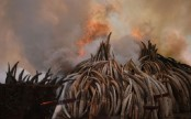 Kenya torches world's biggest ivory bonfire to save elephants