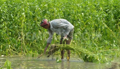 1,84,394 hectares brought under jute cultivation