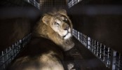 Rescued circus lions from Colombia, Peru flown to South Africa