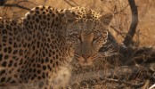 Leopards have lost 75% of their historical habitat