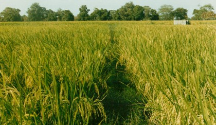 Bumper pulses production likely in Rangpur region