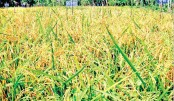 Boro farmers in Khulna district are hoping good profit