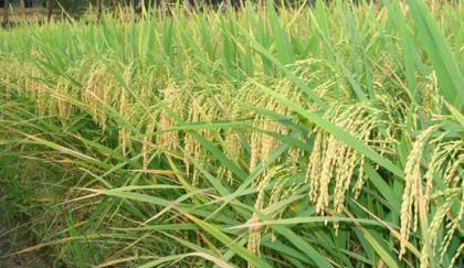 'Enhance zinc-enriched rice farming to ensure nutrition'