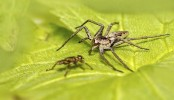 Lady Spiders Demand Gifts From Their Gentleman Callers
