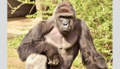 US zoo kills gorilla after boy falls into enclosure
