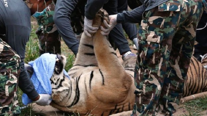 Tigers seized from controversial Thai Buddhist temple