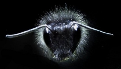 Tiny hairs explain bees' signals transmitted by flowers