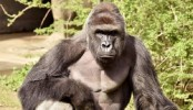 Police to investigate gorilla shooting