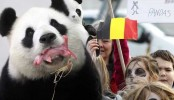 Chinese panda gives birth in Belgium