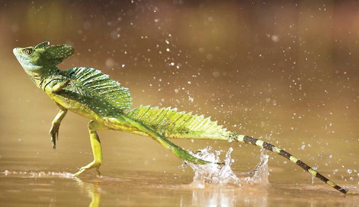 Jesus Lizard (Basilisks)