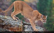 Mother braves attack by mountain lion to save 5-year-old son