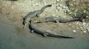 Farakka causes rapid fall in gharial population: CCF