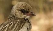 Wild birds 'come when called' to help hunt honey
