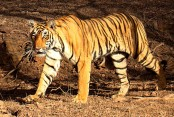 International Tiger Day: WWF urges closure of all tiger farms