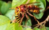 Three minor sisters die of hornet bites in Dinajpur