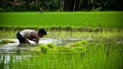 Rice production expected to decrease in 2016-17