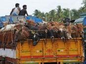 Muggers snatch cattle-laden truck in Jhenidah