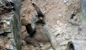 Baby elephant trapped in Sherpur ditch