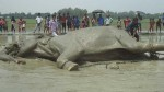 Indian elephant  comes to Bangladesh dies