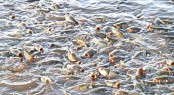Govt to spend Tk 324.45 crore to boost fish production