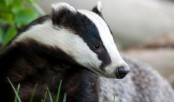 New badger culling trials given go ahead across England