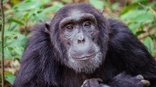 Chimps prefer cooperation over competition like humans
