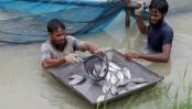 Telapia fish safe for health, claims BFRI