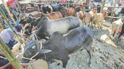 City corporations to lease out 23 makeshift cattle markets in Dhaka