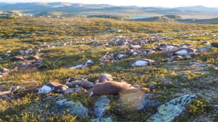 Over 300 reindeer killed in Norway lightning strike