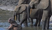 Slow birth rate found in African forest elephants