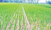 'Ganzia' paddy cultivation begins in Gaibandha