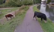 Google Street View inadvertently blurs cow's face