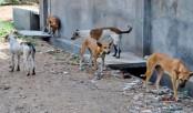 5 mad dogs bite 12 in Jessore