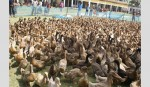 Duck rearing, poultry farming put smile on rural women