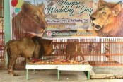 Ctg zoo throws wedding for lions with meat cake