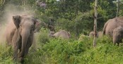Wild elephant electrocuted as farmers cordon cropland with electric wire in Sherpur
