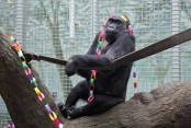 Oldest living gorilla has a new great-grandbaby, JJ