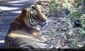 2nd Oldest Royal Bengal Tiger Of Borivali National Park Dies