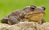 Toad numbers fall by two-thirds in 30 years