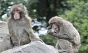 Lab-grown stem cells regenerate monkey hearts: Study