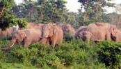Elephant attack leaves 3 dead in Sherpur
