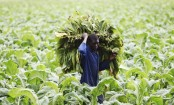 Tobacco Plants Found Capable of Producing Malaria Drug